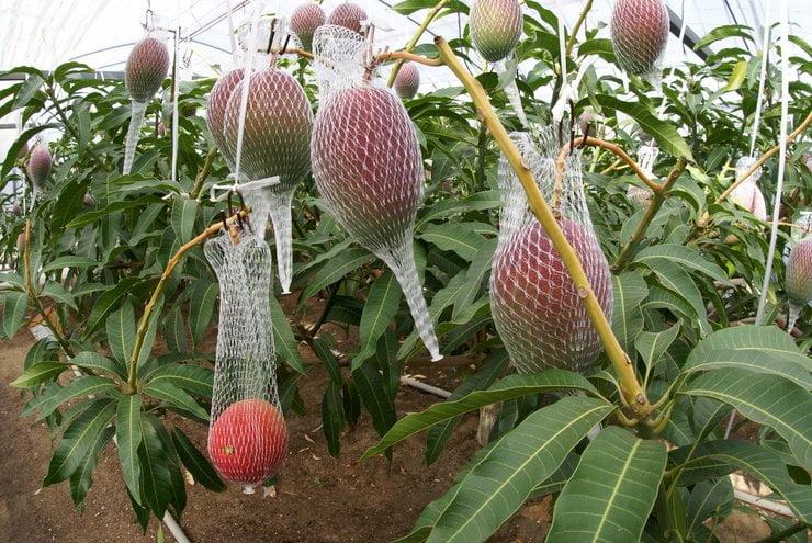 buah termahal